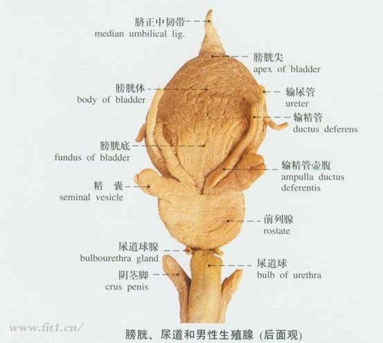 前列腺栓塞