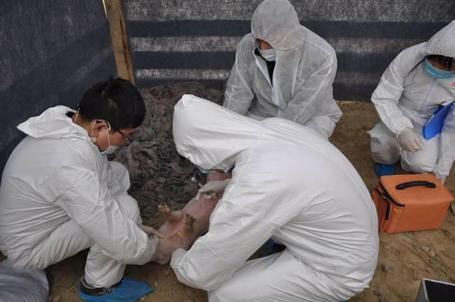 内蒙发生非洲猪瘟
